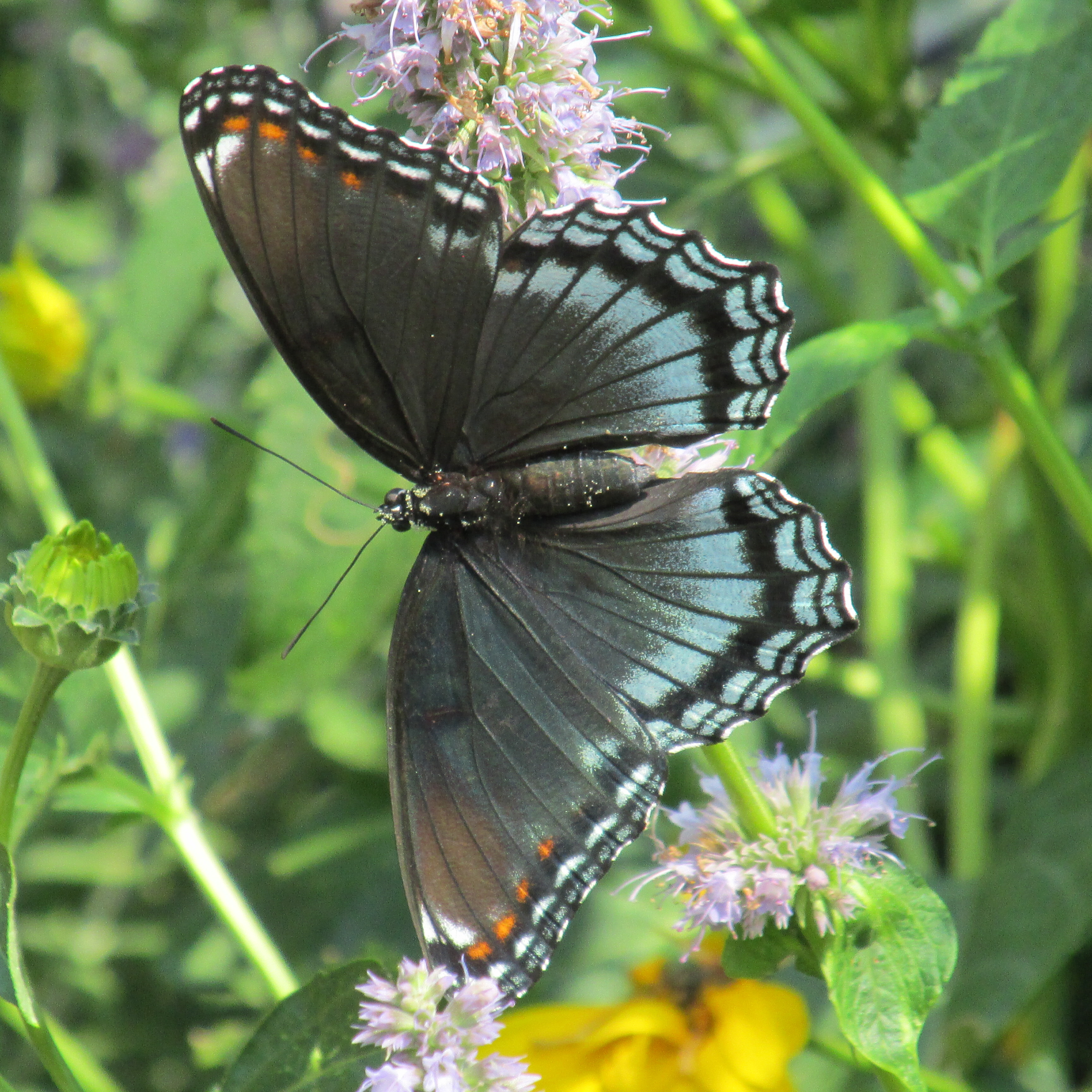 Purple spotted swallowtail - photo#9