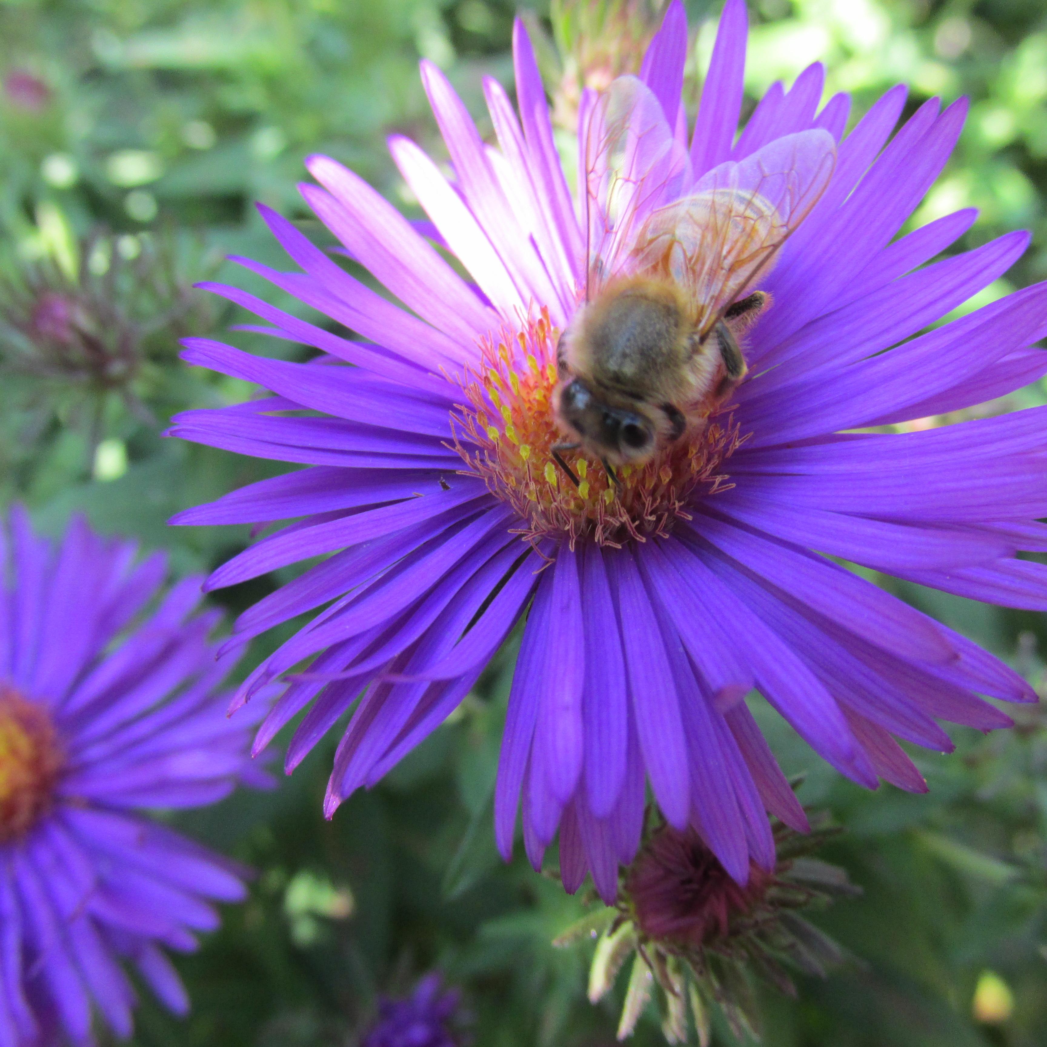 Bee on New England Purple Dome