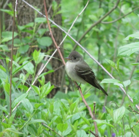Eastern Wood Pewee Cropped 2