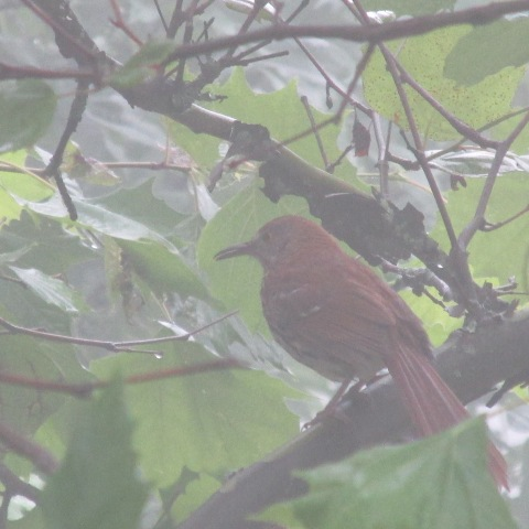 Brown Thrasher maybe