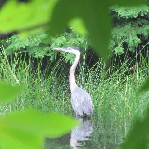 Great Blue Heron, Indian Boundary Lake