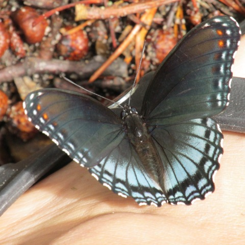 red-spotted purple butterfly on my foot