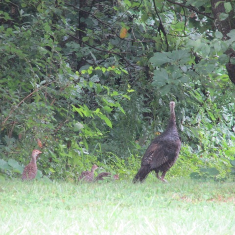 Wild Turkeys at Audubon Acres