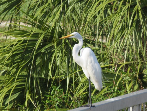 Common Egret at Loxahatchee National Wildlife Refuge