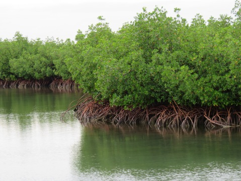 Mangroves at Bill Baggs Cape Florida State Park