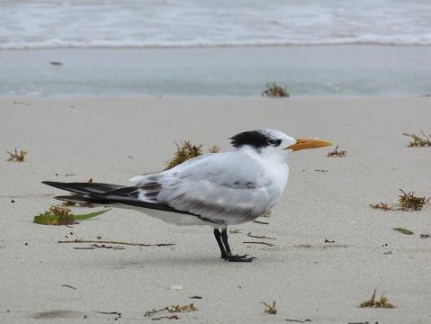 Royal Tern in Florida