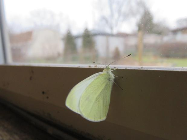 Winter Cabbage Moth and SnowCrocus