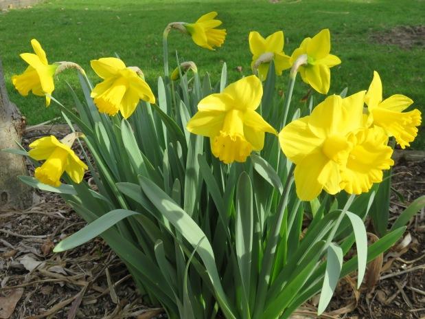 Daffodils, Spicebush, and SpringHikes